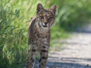 Steve Creek Bobcat